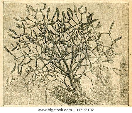 Mistel - gammal illustration av okänd konstnär från Botanika Szkolna na Klasy Nizsze, författare Jozef R