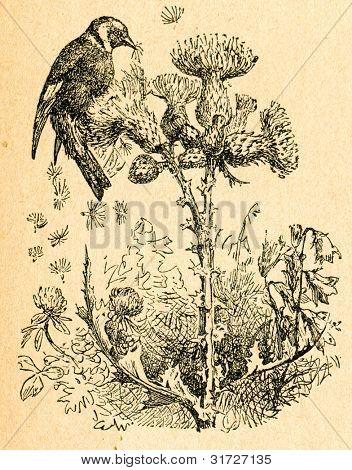 Goldfinch äta tistel frö, gammal illustration av okänd konstnär från Botanika Szkolna na Klasy Ni