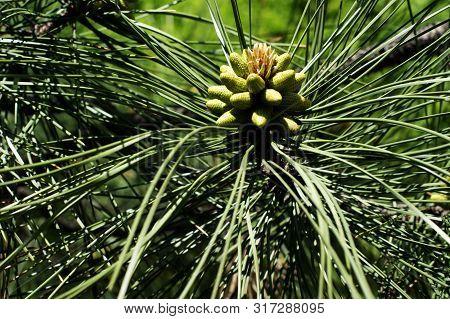 Young Green Cedar Cones On A Branch Of A Young Cedar