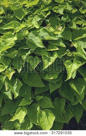 Summer, Season, Green Foliage On Catalpa Tree