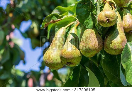 Lovely Cluster Of Conference Pears (conference - Pyrus Communis) Ripening In Pear Tree (fruit Tree).