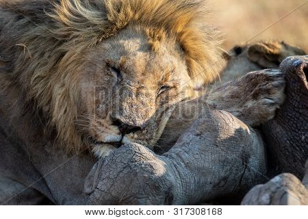 Lion Male With A Huge Mane Rest On A Carcass It Has Eaten