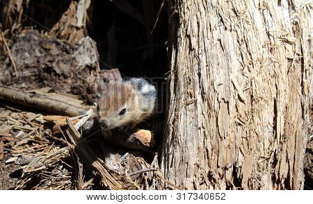 Baby Chipmunk On Sticks By Tree In Forest