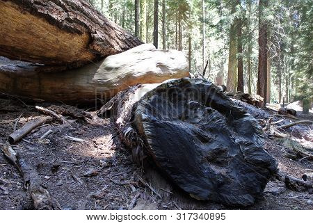 Burnt Tree Trunk Log Section In Woods