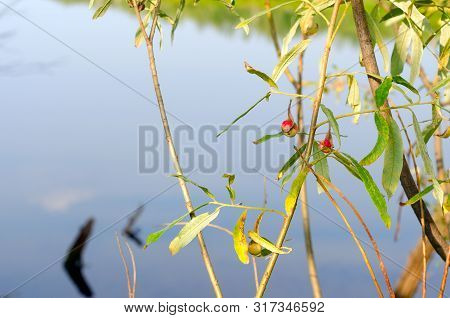 Cancer Red Tumor From The Gallic Mite On A Leaf Of A Wild Plant In The North Of Yakutia On The Backg