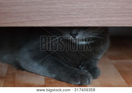 The Gray Cat Hid Under The Bed. Close-up.