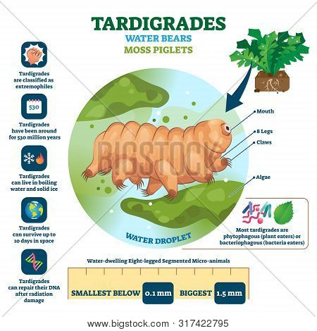 Tardigrades Water Bears Vector Illustration. Labeled Described Moss Piglets Infographic. Educational