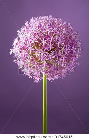Purple alium onion flower, studio shot