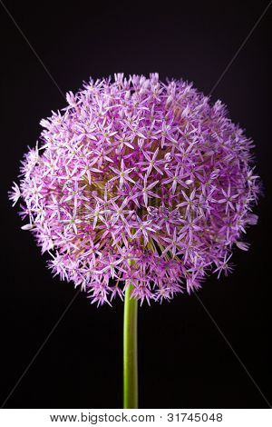 Purple alium onion flower on black, studio shot