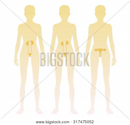 Woman Silhouette With Kidneys, Adrenal Glands, Ovaries, Uterus, Bladder Location On Body. Vector Ill