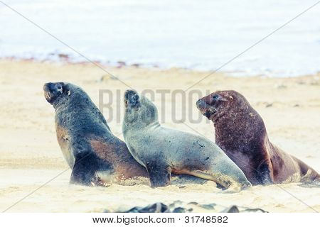 Wildlife photo of a New Zealand sea lions poster