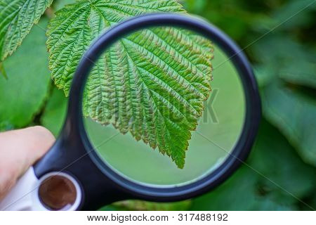 Black Magnifier Increases The Green Leaf Raspberries On The Branch