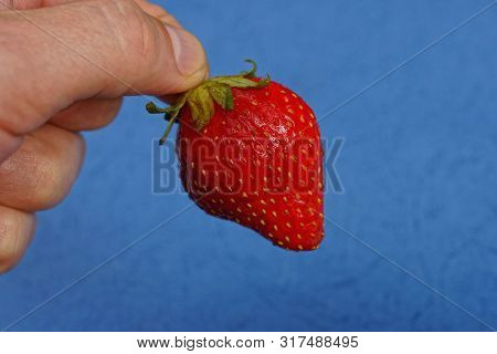 Fingers Hold Red Ripe Strawberry Berry On A Blue Background