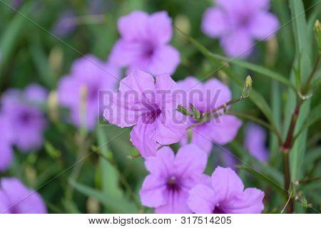 Ruellia Tuberosa Blossom Close Up. Close Up Purple Flowers In The Garden.