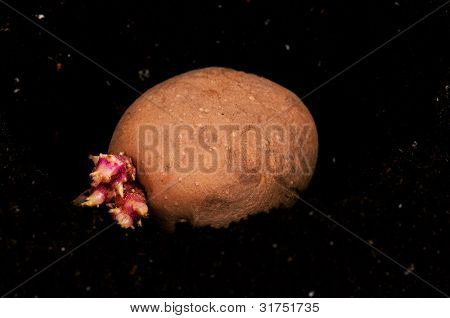 Old potato with sprouts in black soil