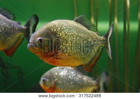 Red-bellied Piranha (pygocentrus Nattereri), Also Known As The Red Piranha In Their Habitat