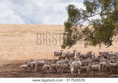 Australian Merino Sheep In The Shade Of A Tree On Farmland Paddock. Nsw, Australia
