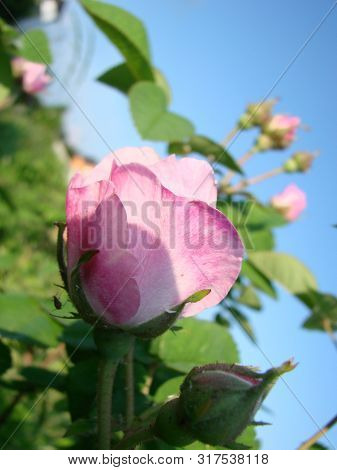 Beautiful Flowers Of Teahouse Roses In A Garden Bed