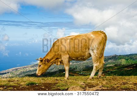 A Cow Stands In The Foreground Of A Slope, Behind Is The Panorama Of The Coastline, Ocean And Horizo