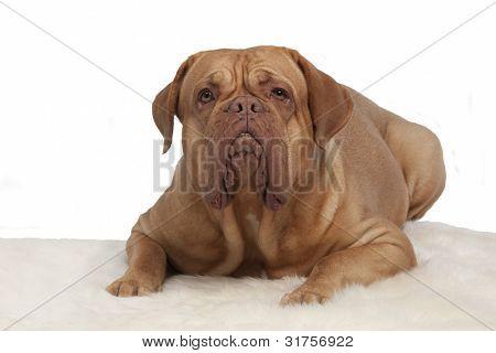 French Mastiff on white fur carpet isolated