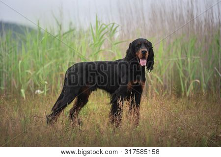 Gorgeous Black And Tan Setter Gordon Dog Standing In The Grass In Summer