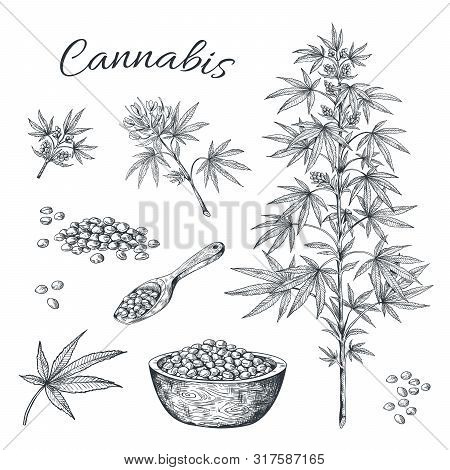 Hand Drawn Cannabis. Hemp Plant With Seeds Leaves And Cons, Vintage Black Ink Line Sketch Of Marijua