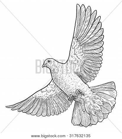 Flying Dove Illustration, Drawing, Engraving, Ink, Line Art, Vector