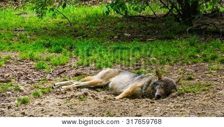 Gray wolf sleeping on the ground of a forest, common carnivorous mammal from Eurasia poster