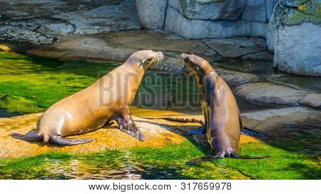 Sea Lion Couple Sitting Together On A Rock At The Waterside, Eared Seal Specie, Marine Life Animals