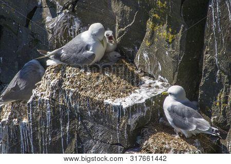 Kittiwakes With Chicks On Rocky Newfoundland Cliff
