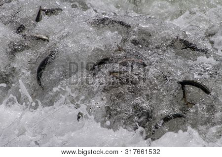 Capelin Rolling Onto Shore In Large Wave On Newfoundland Beach After Spawning