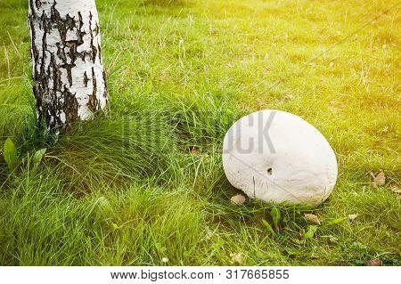 Giant White Puffball - Mushroom On Park
