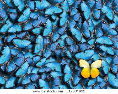 Background From Many Blue Butterflies (morpho Peleides) And One Yellow Butterfly (catopsilia Scylla)