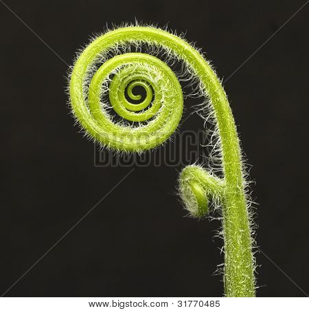 fiddle head fern isolated on black background