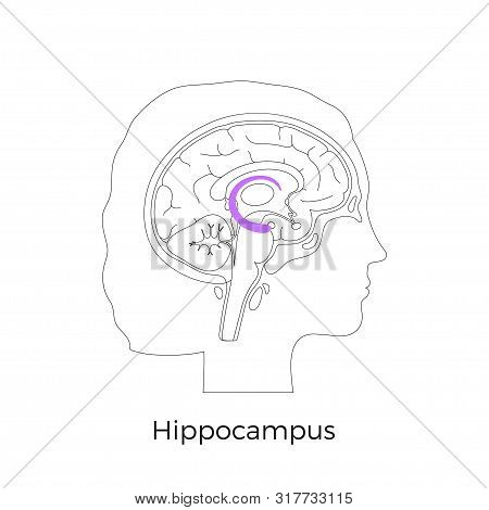 Vector Isolated Illustration Of Hippocampus In Woman Head. Human Brain Components Detailed Anatomy.