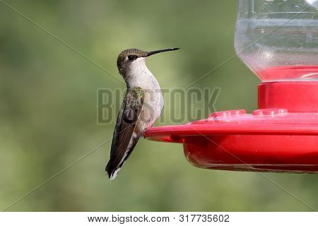 A Ruby-throated Hummingbird Keeps A Watchful Eye Before Drinking From A Feeder.