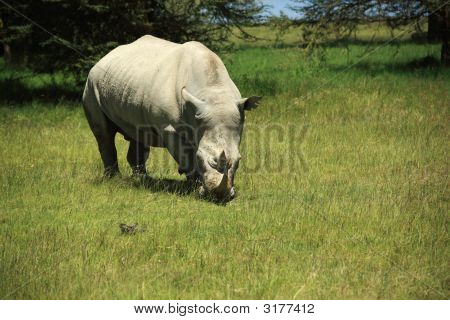 Rhino Eating Grass