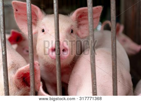 Cute Piglet In Farm. Happy And Healthy Small Pig. Livestock Farming. Meat Industry. Animal Meat Mark