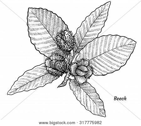 Beech With Leaves And Fruits Illustration, Drawing, Engraving, Ink, Line Art, Vector