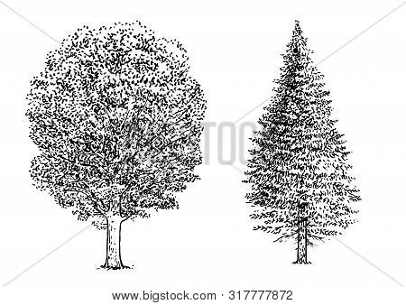 Beech And Pine Tree Illustration, Drawing, Engraving, Ink, Line Art, Vector
