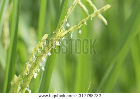 Paddy Stalk And Flowers.rice Flower.