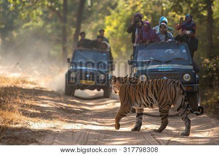 A Female Bengal Tiger Marking His Territory.image Taken During A Safari At Bandhavgarh National Park