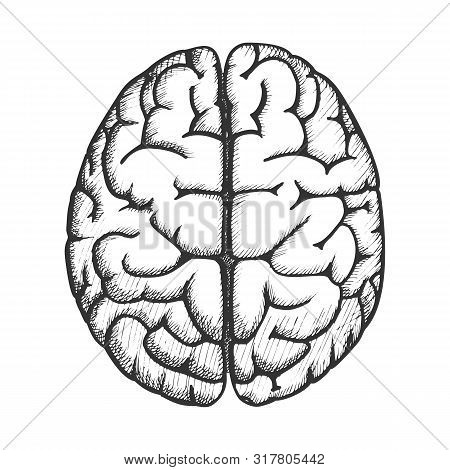 Head Organ Human Brain Top View Vintage Vector. Two Hemicerebrum Of Brain For Medical Anatomy Lesson