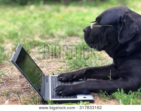 Dog Cane Corso Is Lying On The Green Grass In Front Of A Laptop Monitor. Big Black Dog With Glasses.