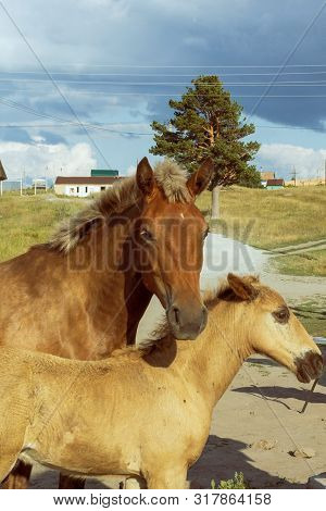 Mama horse with his little foal walk around the village. poster