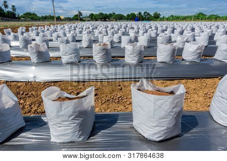 Row Fo Coconut Coir In Nursery White Bag For Farm With Fertigation , Irrigation System To Be Used Fo