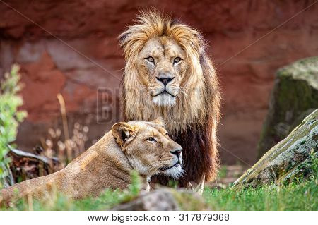Barbary Lion And Lioness. The Barbary Lion Was Also Called North African Lion, Berber Lion And Atlas