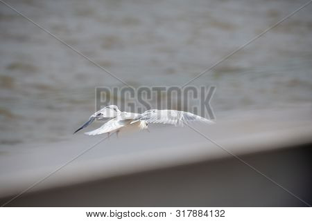 Seagulls Frolicking On The Weser In Bremen  Germany