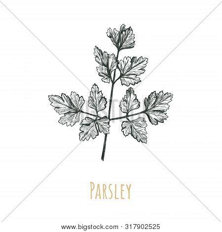 Parsley Illustration. Parsley Hand Drawing. Botanical Parsley