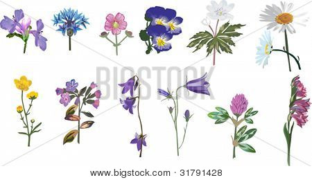 illustration with wild flowers collection isolated on white background